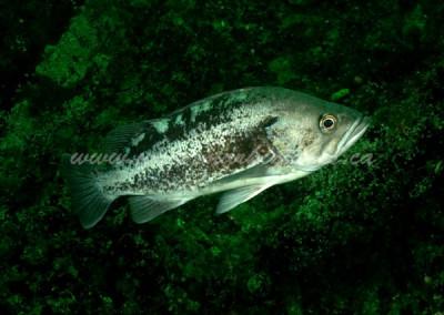 black-rockfish