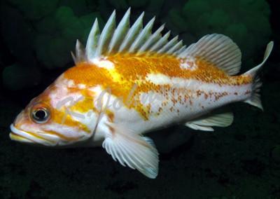 canary-rockfish-1