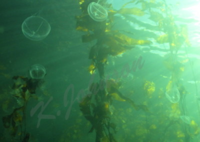 cross-jellies-in-kelp-web-1
