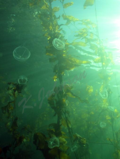 Cross Jellies in the Kelp
