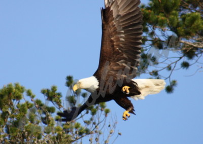 eagle-takeoff-web