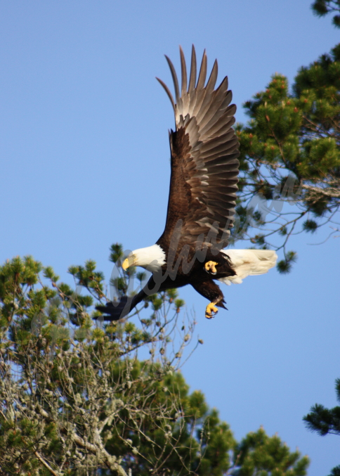 Bald Eagle at Takeoff