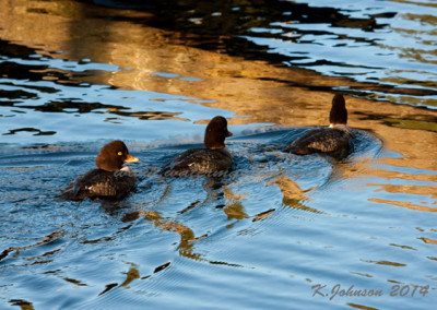 golden-eye-duck-parade