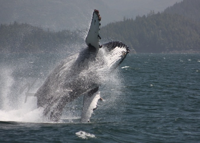 Humpback at Play
