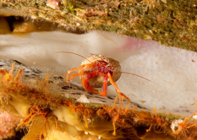 hermit-crab-in-rock-scallop