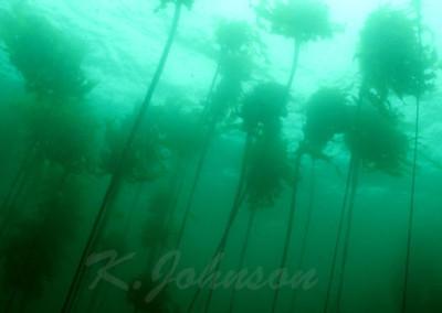 ohiat-kelp-2