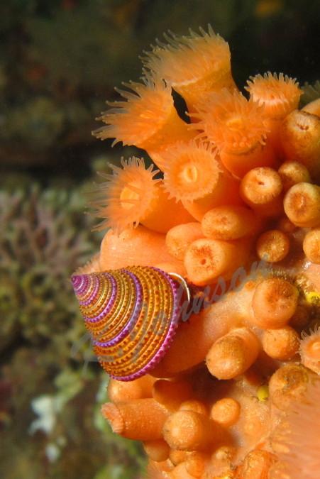 Purple-ringed Topsnail on the Orange Zoanthid