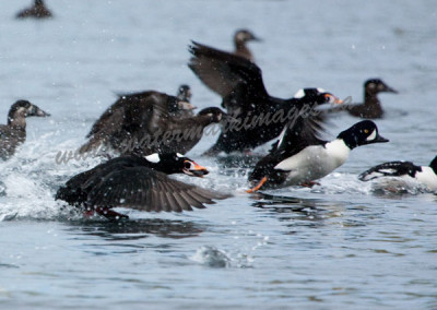scoters-taking-off