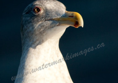 sea-gull-portrait