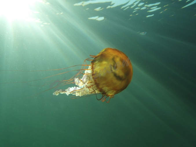 Sea Nettle in the Sunshine