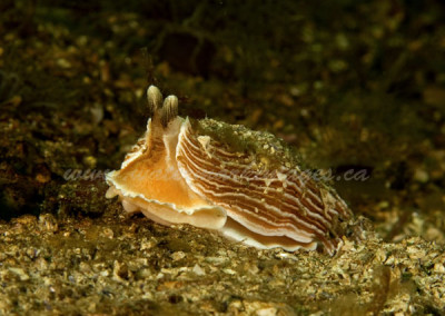 striped-nudibranch
