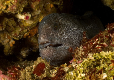 wolf-eel-young-female